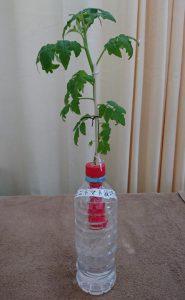 鍼灸治療院稲毛海岸の水耕栽培ミニトマトに支柱を立てました!