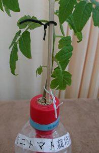 鍼灸治療院稲毛海岸のミニトマトの支柱は割り箸で作りました。