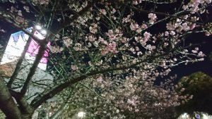 桜 満開 夜桜も綺麗ですね。