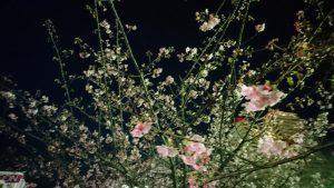 稲毛海岸 イオンマリンピアの目の前の河津桜