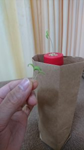 この水耕栽培キットで栽培できるのは一株のみ・・・ということで、1本残して抜かせてもらいました。